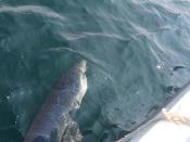 Striped Bass vissen in Montauk NY