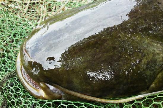 Vis zonder ogen..... En ook deze greep het kunstaas!