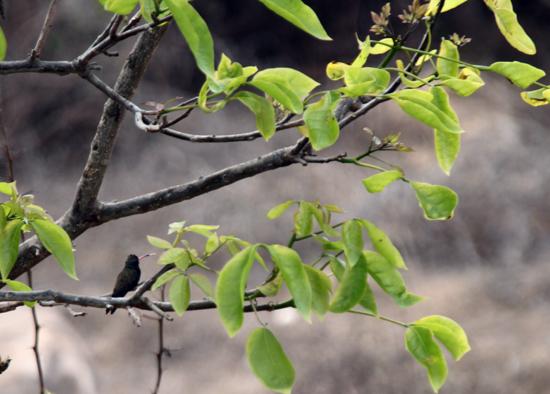 Kolibrie in de achtertuin