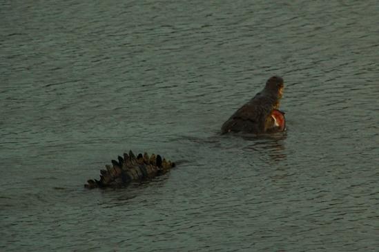 Ook de kroko hield een lekker maaltje over aan de mackerel!