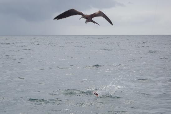 In de lucht: fregatvogel jaagt op snapper......