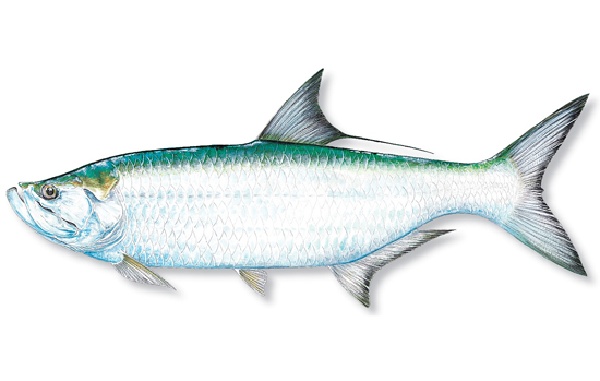 Tarpon vissen in Florida (deel 1) | The Dutchanglers | 550 x 349 jpeg 108kB