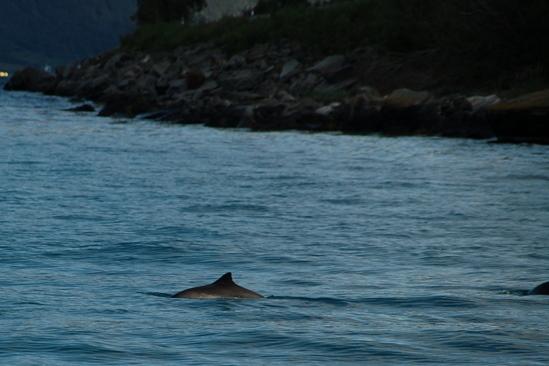 Bruinvissen waren echt overal en soms heel dichtbij