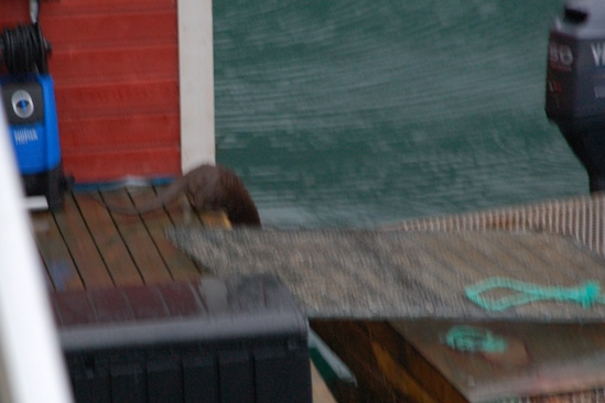 De dader! Zeeotter jat vis.