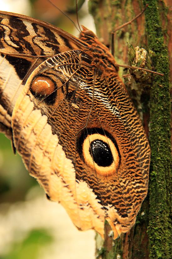 Uiloogvlinder