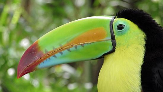 El toucan, de 'mascotte' van Costa Rica