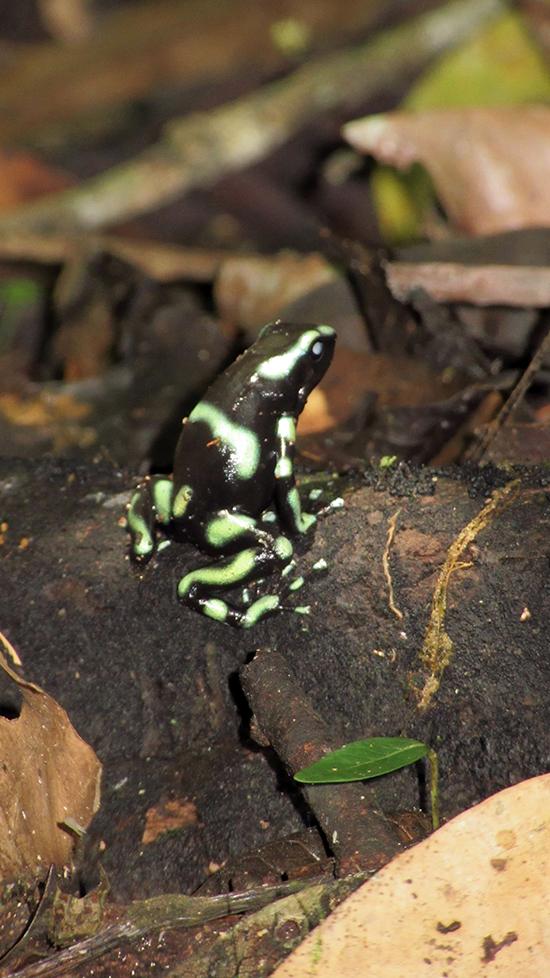 Poisson Dart Frog