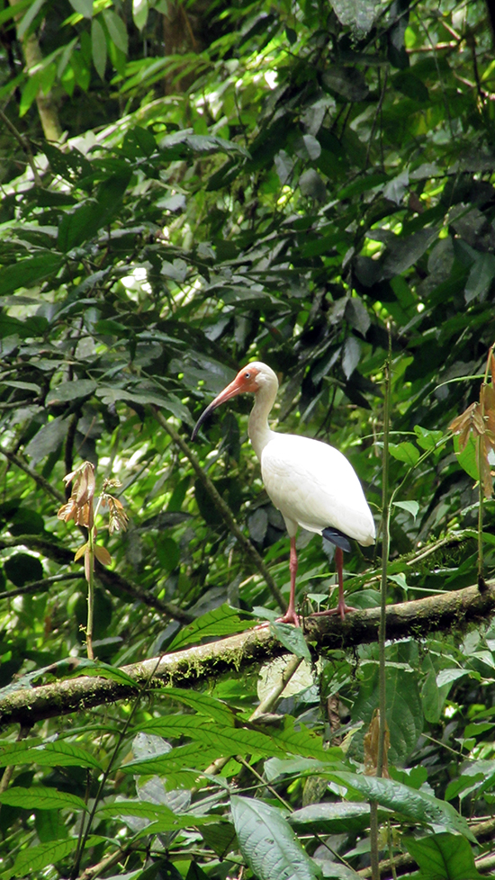 Ibis in Carara National Park