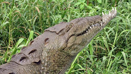 Tijdens een gevecht is deze kroko zijn bovenkaak verloren