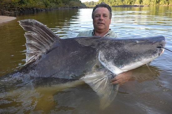 In 2014 in Suriname schoot een grote Lau-Lau los; Guyana was mij beter gestemd; na een dril van 50 minuten kwam dit monster boven water.