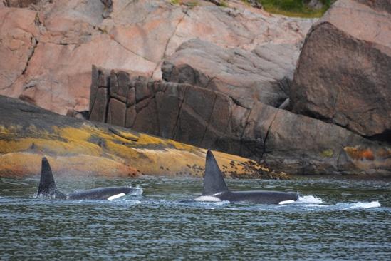 Met ongelofelijk mooi orka geweld vlakbij de boot!
