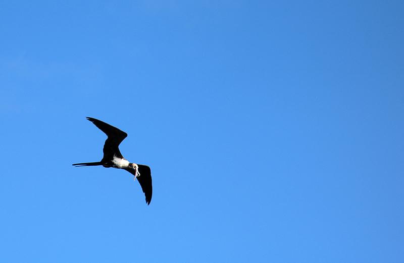 Voor deze fregat vogel is de vangst binnen