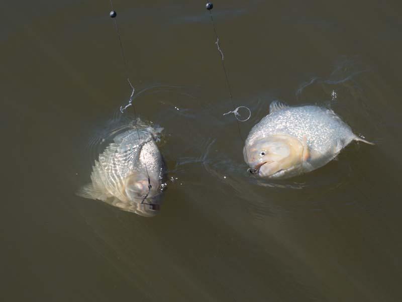Fishing for golden dorado in argentina on the rio parana for Parana the fish